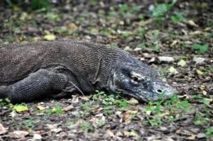 Na terra dos dragões de Komodo