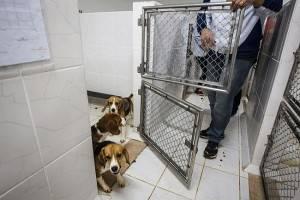 Resgate dos beagles em São Roque, interior de São Paulo. A visão de cada religião sobre o uso de animais em pesquisas deriva do modo como cada crença vê a posição do homem dentro da criação. (Foto: Avener Prado/Folhapress)