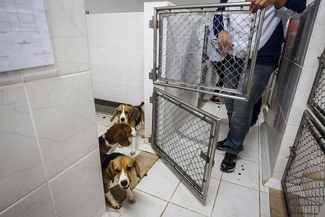 resgate dos beagles de laboratório no interior de são paulo.