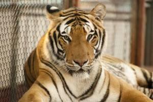 O tigre não tem culpa