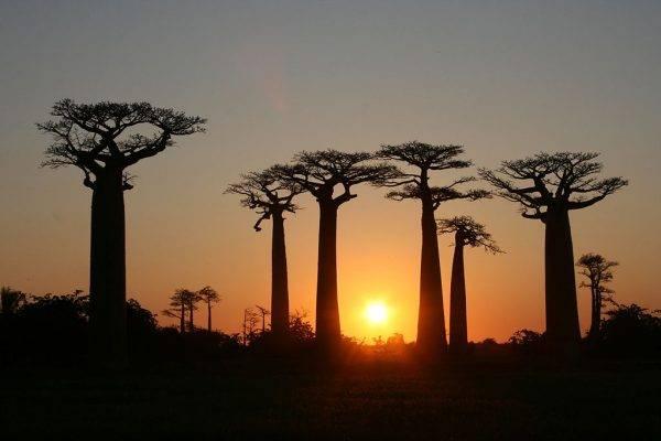 Baobá, árvore símbolo da tradição africana. Foto: Gavin Evans.