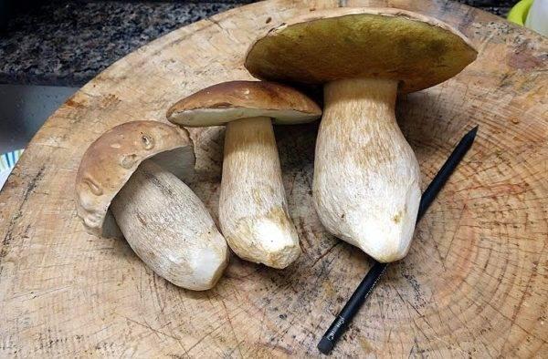 Cogumelos Porcini enormes estão chegando de Palmeira. Para se ter uma ideia das dimensões, observe o lápis abaixo deles. (Foto/ Anacreon de Téos)